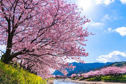 ▲日本4大河津櫻名所(圖/樂天旅遊提供)