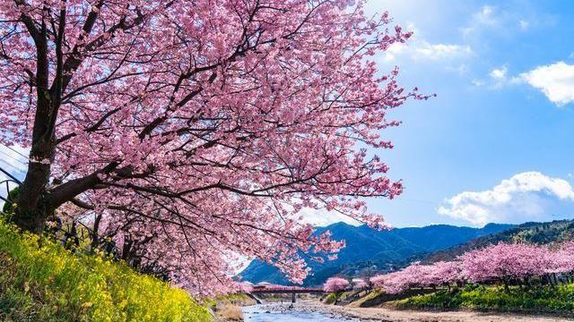 迎接日本最美早櫻 「4大河津櫻名所」旅遊攻略公布