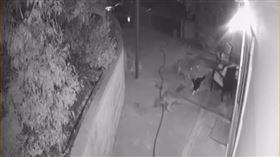 老虎不發威,你當我是病貓?日前美國有位民宅附近突然出現了3隻野生的土狼試圖闖入,豈料屋主家中飼養的貓咪竟然憑一己之力趕跑了3隻惡狼,這護主的英勇舉動被上傳到網路上,引起廣大迴響。(圖/翻攝自ViralHog YouTube)