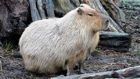 台北市立動物園推鼠年特展金鼠年即將到來,台北市立動物園18日起推出「鼠鼠生豐–鼠年生肖特展」,開幕首日邀請大家跟著第一隻在園內出生的水豚「卡皮」,一起認識嚙齒類動物。(台北市立動物園提供)中央社記者陳怡璇傳真 109年1月17日