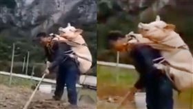 太值錢怕被偷?中國農夫背豬耕田 影片曝光笑翻網友(圖/翻攝自推特寧先華)