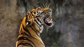 現代武松是妳?印度23歲女棒打老虎 醫:未受傷實屬萬幸(圖/翻攝自Pixabay)
