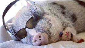 美國,小豬,治療豬,莉露,機場