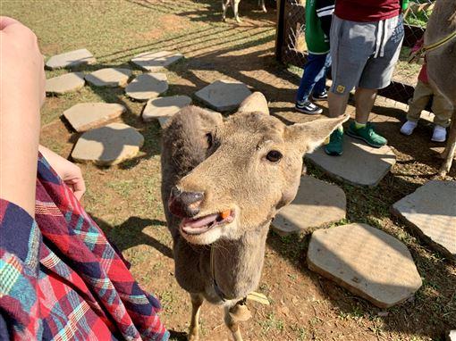 過年祈好運!埔心牧場豚神神社供參拜 還能餵食超萌動物 ID-2372339