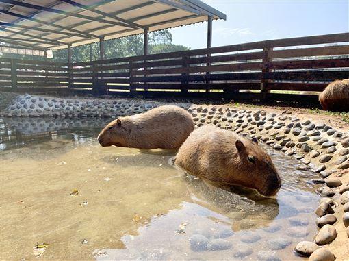 過年祈好運!埔心牧場豚神神社供參拜 還能餵食超萌動物 ID-2372340