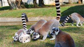 ▲六福村環尾狐猴過新年,大玩擲骰子遊戲。(圖/六福村主題遊樂園提供)