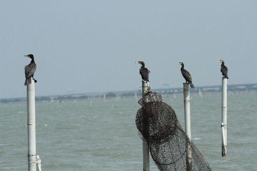 七股潟湖鸕鶿鳥況佳每年秋冬季節會有大批冬候鳥到台南沿海的各棲地度冬,賞鸕鶿的最佳地點就是七股潟湖。潟湖中的蚵架、航道指標柱子頂端,都是鸕鶿休息的好地方,坐在船上就可近距離看到這些鳥的模樣。中央社記者楊思瑞攝  109年1月29日