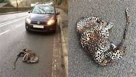 動物,花豹,連身衣,公路,英國,查看,逆轉,開車,救援, 圖/翻攝自Ben Lilly臉書