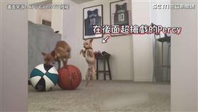 跟著主人表演特技 吉娃娃成NBA中場表演寵兒