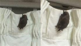 網友家裡驚現蝙蝠。(圖/翻攝自PTT)