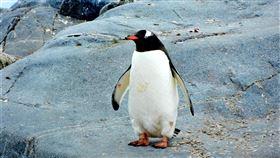 根據生物研究團隊的新發現,在大多數人類語言中,最常用的字都很短,企鵝也是如此。▲(圖/翻攝自Unsplash圖庫)