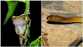 澳洲,太攀蛇,綠樹蛙,毒蛇,青蛙 圖/翻攝自PIXABAY
