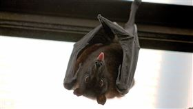 蝙蝠(圖/Pixabay)