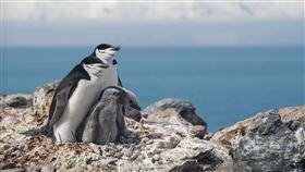 南極頰帶企鵝50年少77%  環團籲加速減碳綠色和平12日發布新聞稿表示,綠色和平極地曙光號與希望號剛完成為期6週南極調查工作,南極半島東北部的象島(Elephant Island)是企鵝重要棲地,調查發現島上企鵝族群數量平均減少60%;而頰帶企鵝(Chinstrap Penguin)族群在過去50年間銳減,減少高達77%,呼籲台灣政府及企業應加速減碳行動。(綠色和平提供)中央社記者張雄風傳真  109年2月12日