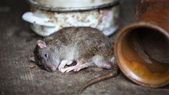 老鼠惹的禍 漢他病毒出血熱再確診