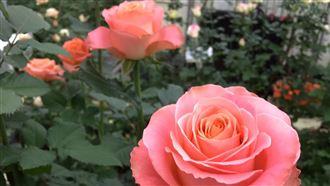 武漢肺炎衝擊情人節賣況 玫瑰便宜賣