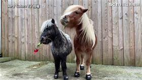 ▲小馬Albert和Pricilla共度美好的情人節。(圖/AP/Caters TV授權)