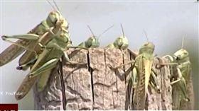 蝗蟲入侵南俄羅斯 心血被啃農民喊苦