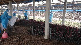 禽流感疫情升溫 雲林撲殺逾3萬黑羽土