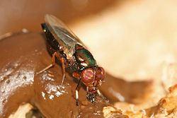 超忙!蒼蠅吃大便同時忙「這些事」