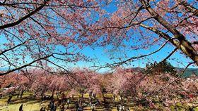 櫻花,賞櫻,賞花,桃園,拉拉山,恩愛農場(翻攝自拉拉山 恩愛農場臉書)