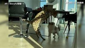 ▲熱帶大草原貓Stryker,想找Pomsky一起玩,沒想到卻被狠狠地拒絕。(圖/AP/Storyful 授權)