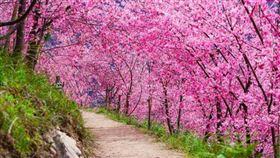 司馬庫斯粉紅佳人櫻花盛開!上帝部落步道現「櫻吹雪」