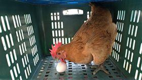 母雞,下蛋,孵蛋,家門口,驚喜,爆廢公社公開版,月子中心,阿嬤