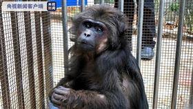 大陸列為二級重點保護的短尾猴,被發現在雲南宣威市倘塘村大街上趴趴走,被抓後量完體溫,還是被強制隔離。(圖/翻攝自央視官網)