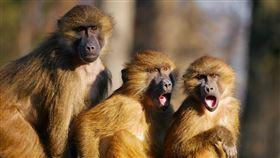 雪梨一家醫院25日發生狒狒逃走事件。有媒體指出,逃走的狒狒是由研究單位飼養,專門作為「類似科學怪人」實驗用途。(示意圖/圖取自Pixabay圖庫)