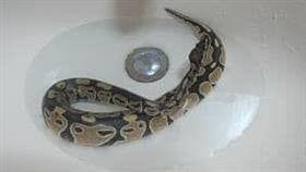 網友夢境中的母球蟒幼蛇。(圖/翻攝自爆怨公社)