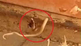 澳洲,毒蛇,蜘蛛,寡婦,棕蛇(圖/翻攝自臉書-Snake Catchers Adelaide )
