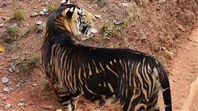 (圖/翻攝自MZDN望世界望世界YouTube)印度,孟加拉虎,黑虎,白虎