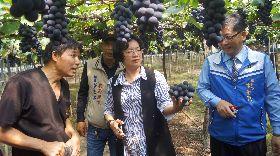 王惠美關心溪湖早春葡萄栽種情形
