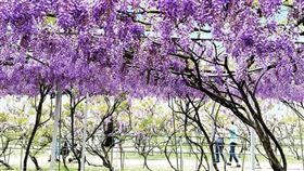 淡水紫藤咖啡園,IG授權提供