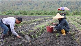 花蓮青農返鄉與父經營有機農場 花蓮青農陳柏叡返鄉與父親陳文富經營有機農場,採行從育苗、種植、生產到銷售一條龍方式,每月銷售有機蔬菜達2公噸以上。圖為父子合作採收有機馬鈴薯。中央社記者李先鳳攝 109年3月10日