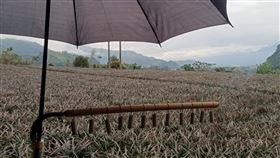 鳳梨保衛戰台東鳳梨進入台灣獼猴最愛吃的吐果階段,布農族小農朱益利這幾天以沖鞭炮進行「鳳梨保衛戰」。(朱益利提供)中央社記者盧太城台東傳真  109年3月11日