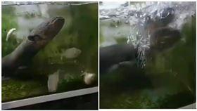 食人魚餓10天大戰電鰻 水中霸主是牠(圖/翻攝自youtube)