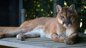 美洲獅,山獅(圖/Pixabay)