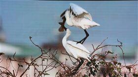 黑琵築巢珍貴畫面曝光人稱「黑琵先生」的生態攝影家王徵吉13日分享在台南鯤鯓拍攝黑面琵鷺築巢珍貴影片,傳達往返遷移的黑琵落地生根情況,展現重大保育成果。(台南市政府提供)中央社記者張榮祥傳真 109年3月13日