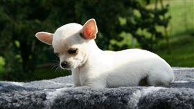 吉娃娃,遛狗,熱心,鄰居,驚人(圖/翻攝自Pixabay)
