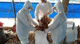 屏東萬丹養雞場染禽流感 撲殺1萬多隻