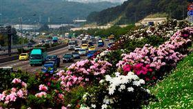 國道1號林口路段杜鵑花。(圖/高公局提供)