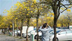 國道3號古坑服務區黃金風鈴木。(圖/高公局提供)