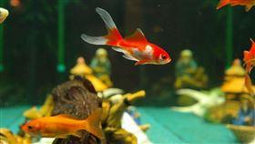 美國,金魚,魚缸。(圖/Pixabay)