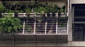 車剛停好!貓咪秒衝陽台「大叫飯」(圖/翻攝自爆廢公社臉書)