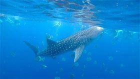 菲律賓,鯨鯊共游,宿霧(記者花芸曦攝影)