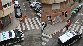 西班牙街道空無一人!竟見「絕種動物」漫步…真相讓警笑瘋
