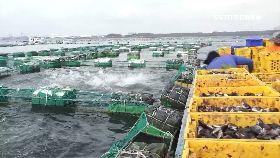 龍膽慘鮭貴1200