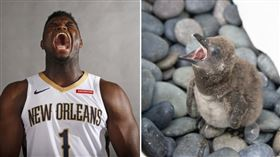 走路很像?水族館用威廉森命名小企鵝 NBA,紐奧良鵜鶘,Zion Williamson,企鵝 翻攝自推特